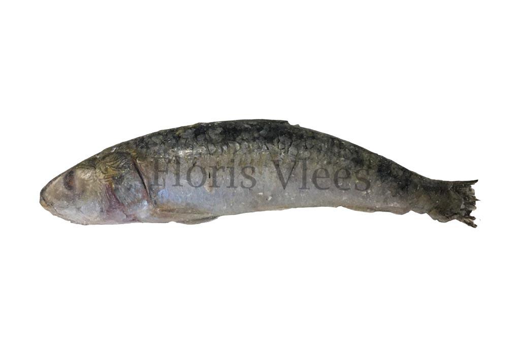 Sardines, per stuk los ingevroren 1 kilo